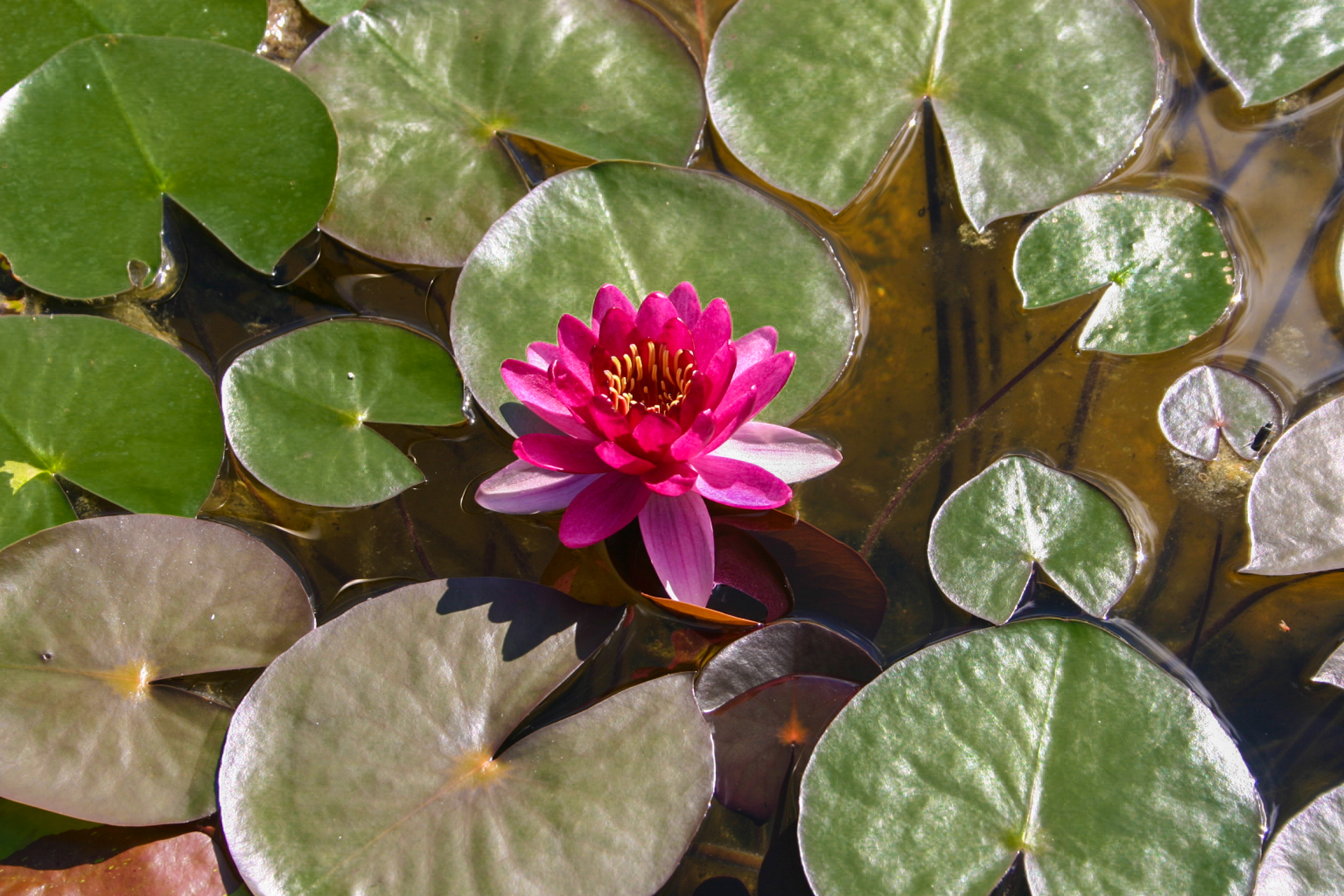Nymphaea 'Perry's Baby Red' 3 (1 of 1).jpg