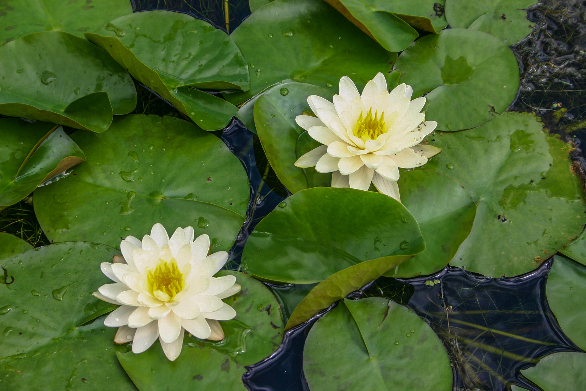 Nymphaea 'Denver' 2 (1 of 1).jpg