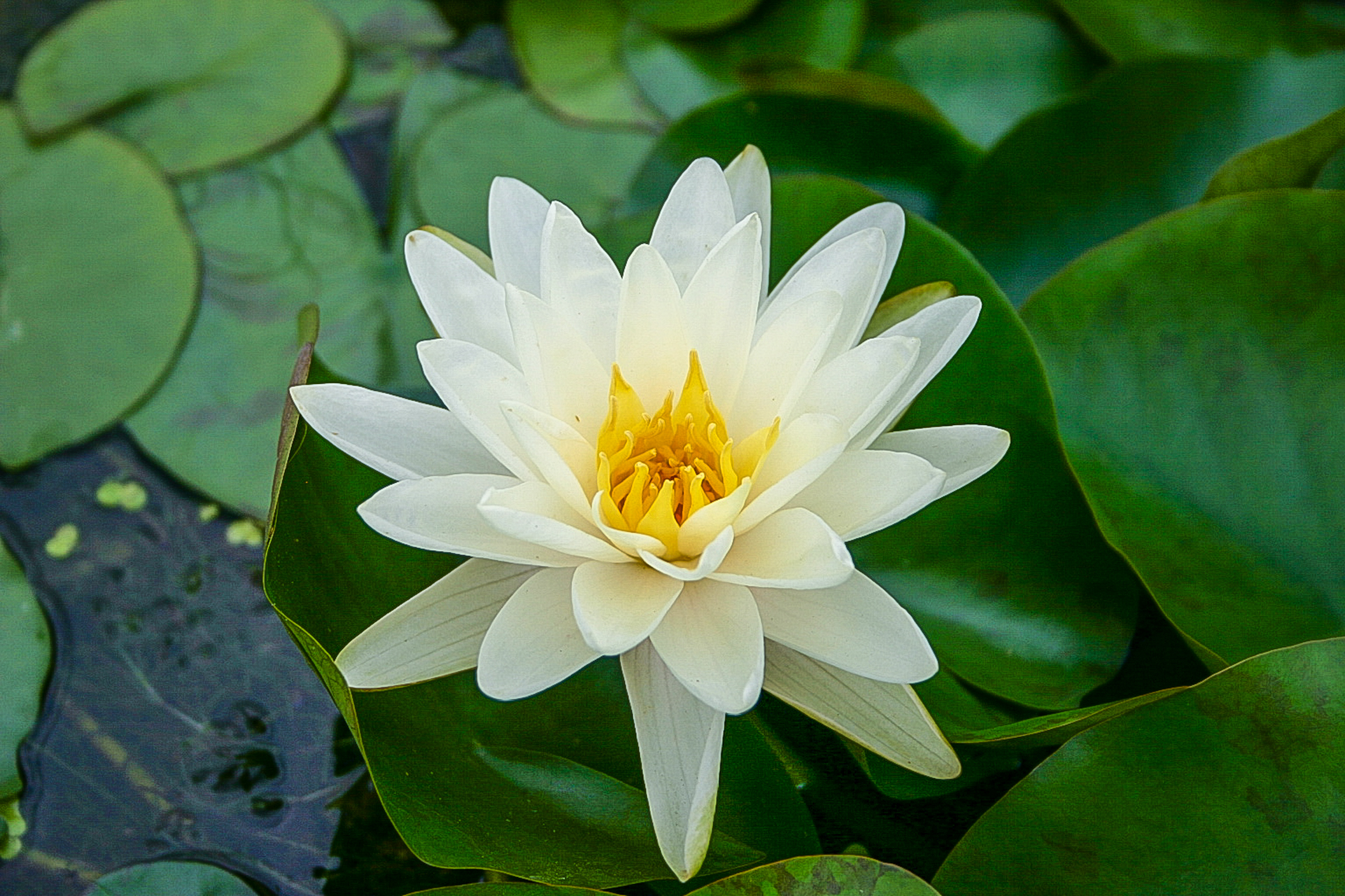 Nymphaea 'Denver' (1 of 1).jpg