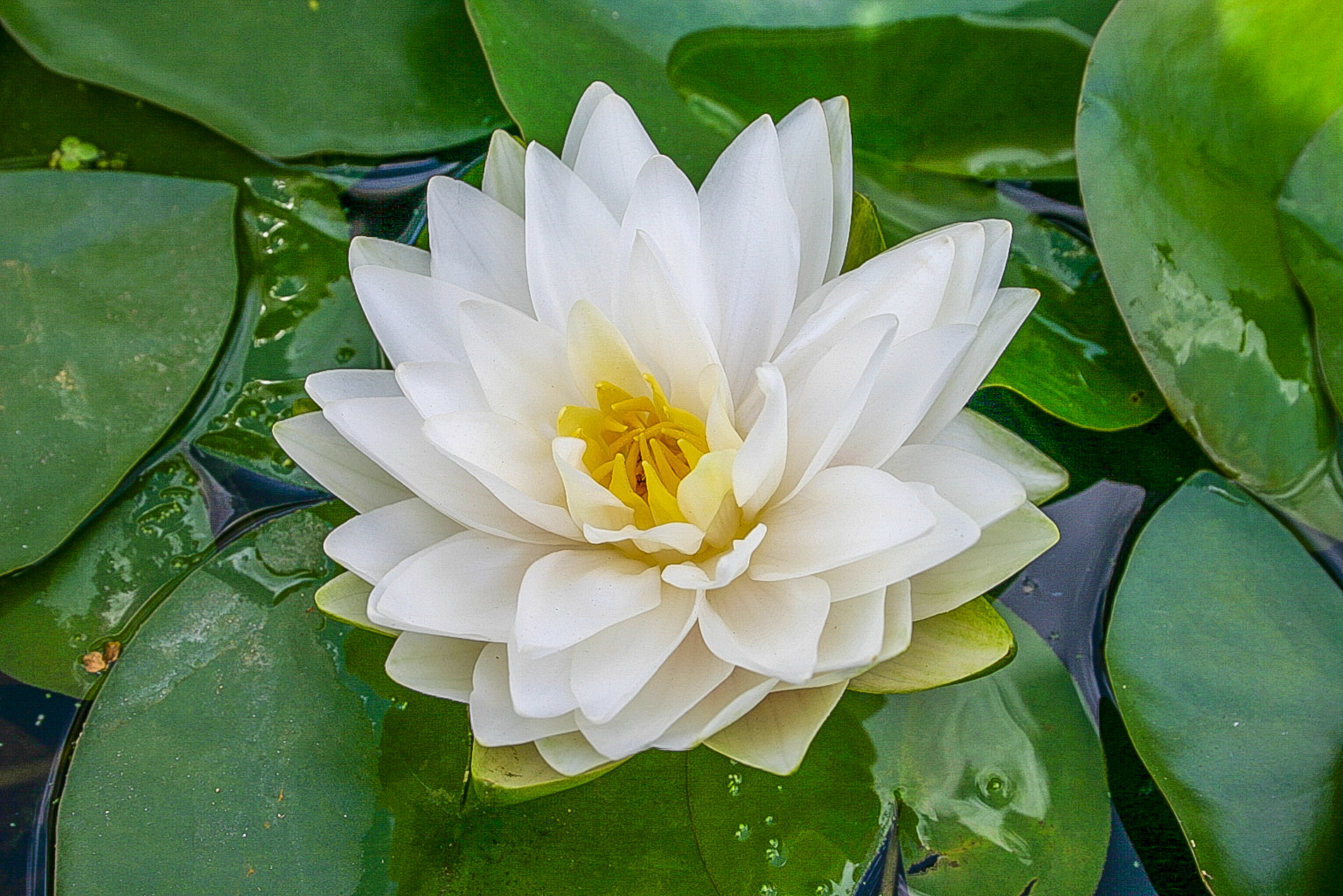 Nymphaea 'Gonnere' (1 of 1).jpg