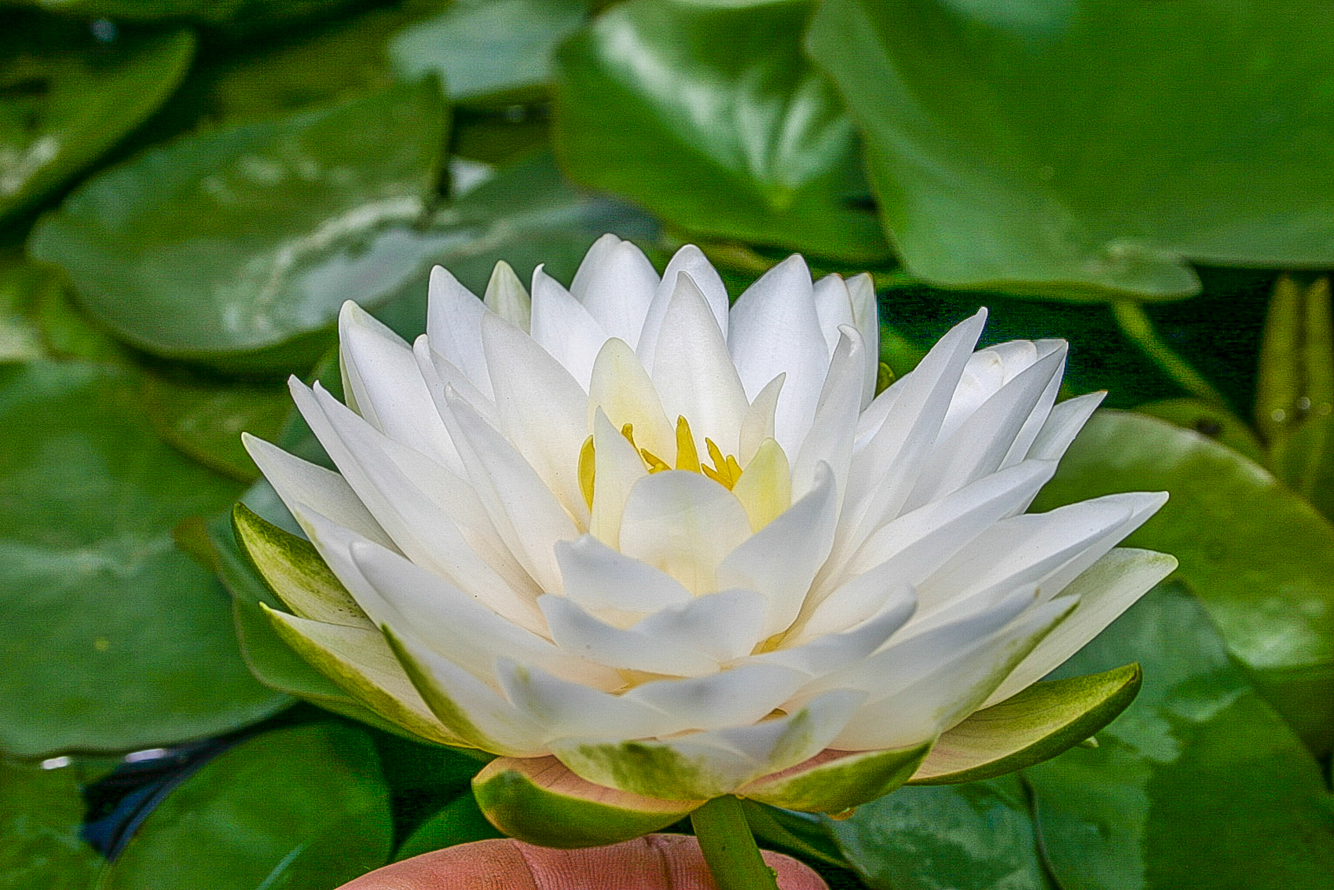 Nymphaea 'Gonnere' 3 (1 of 1).jpg