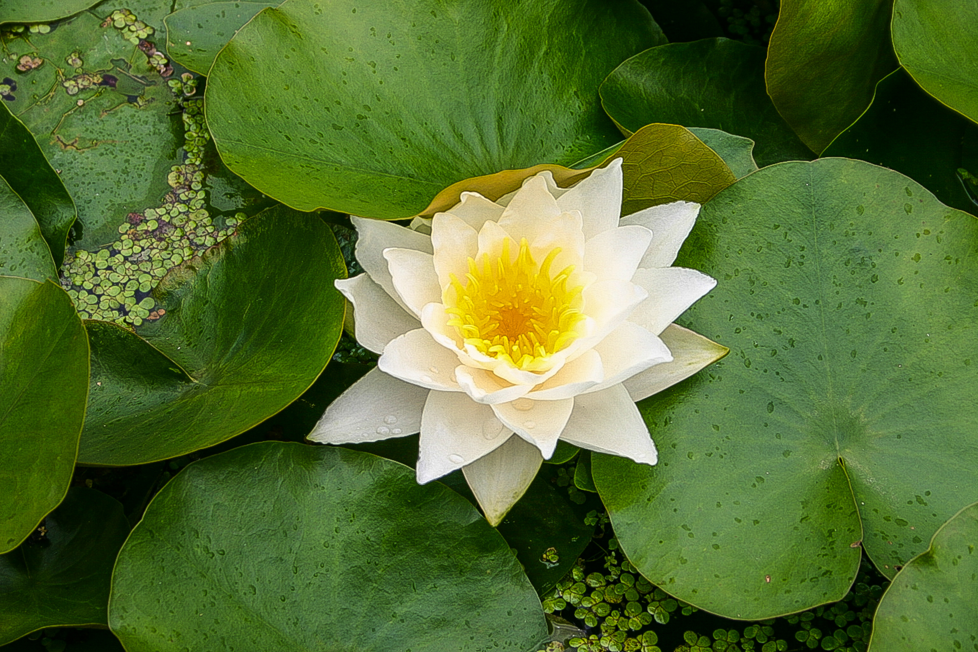 Nymphaea 'Laura Strawn' (1 of 1).jpg