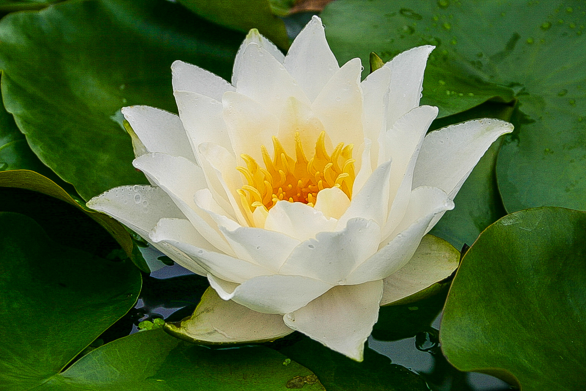 Nymphaea 'Laura Strawn' 3 (1 of 1).jpg
