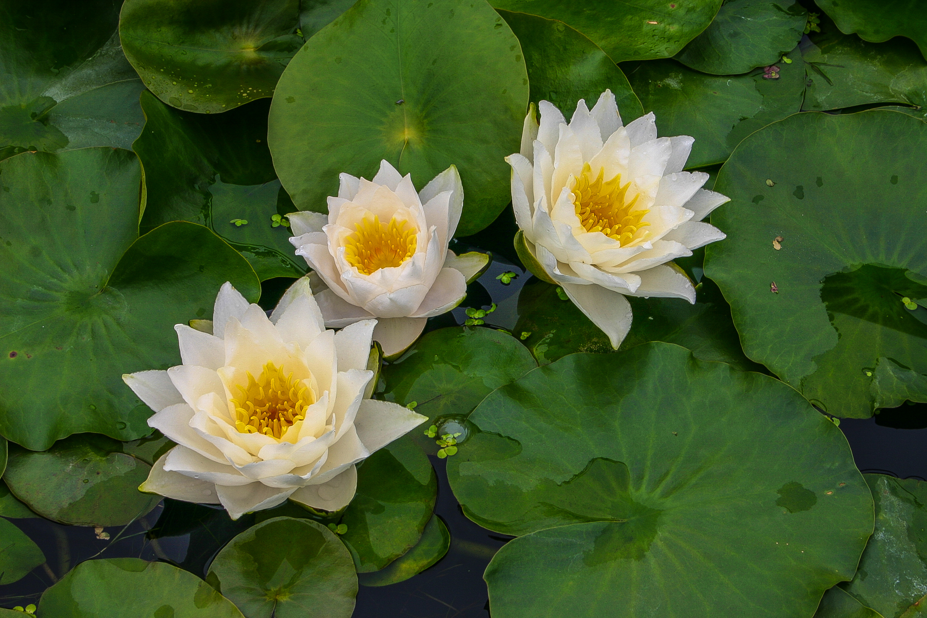 Nymphaea 'Laura Strawn' 5 (1 of 1).jpg