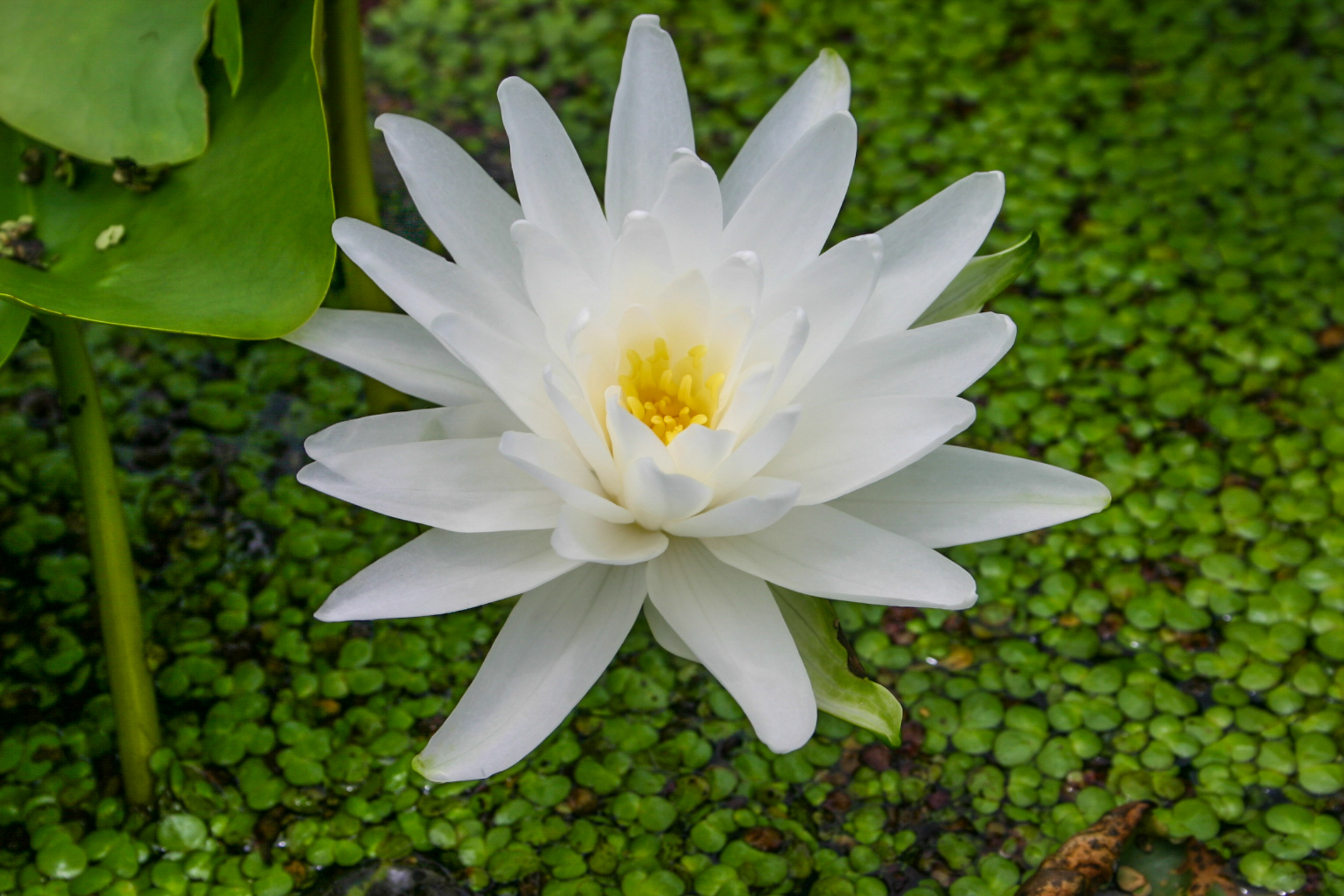 Nymphaea 'Perry's Double White' 2 (1 of 1).jpg