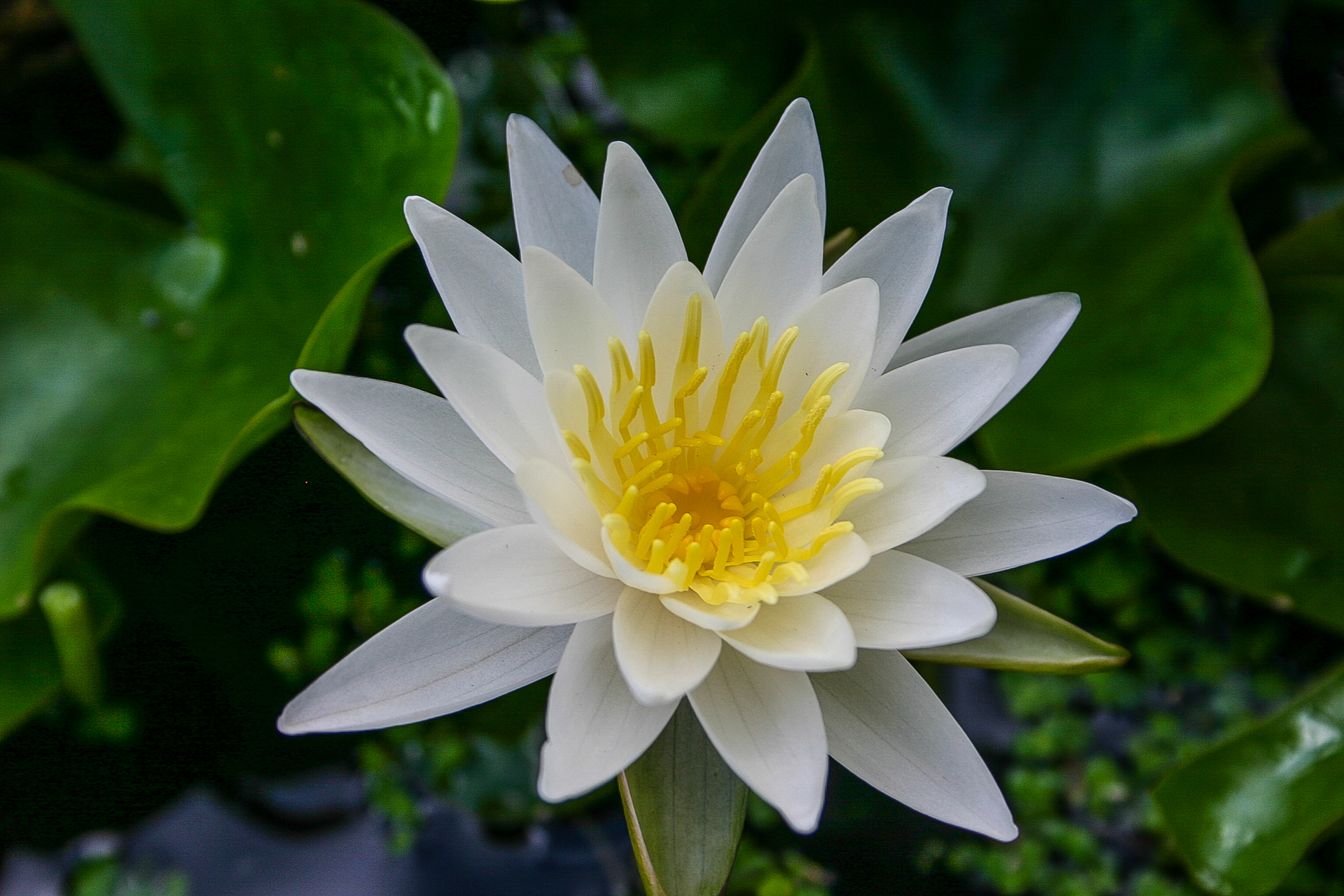 Nymphaea 'Walter Pagels' (1 of 1).jpg