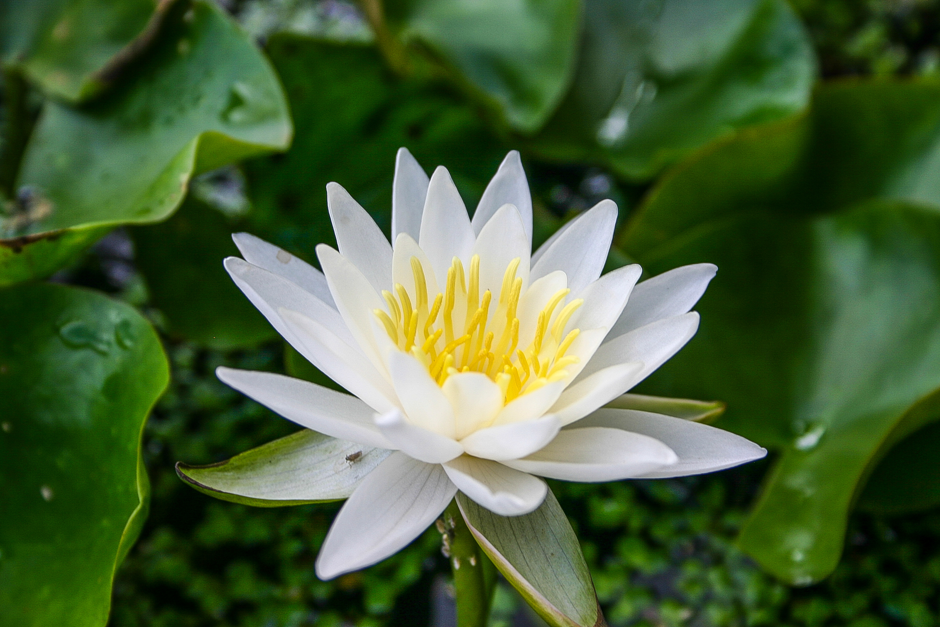 Nymphaea 'Walter Pagels' 2 (1 of 1).jpg