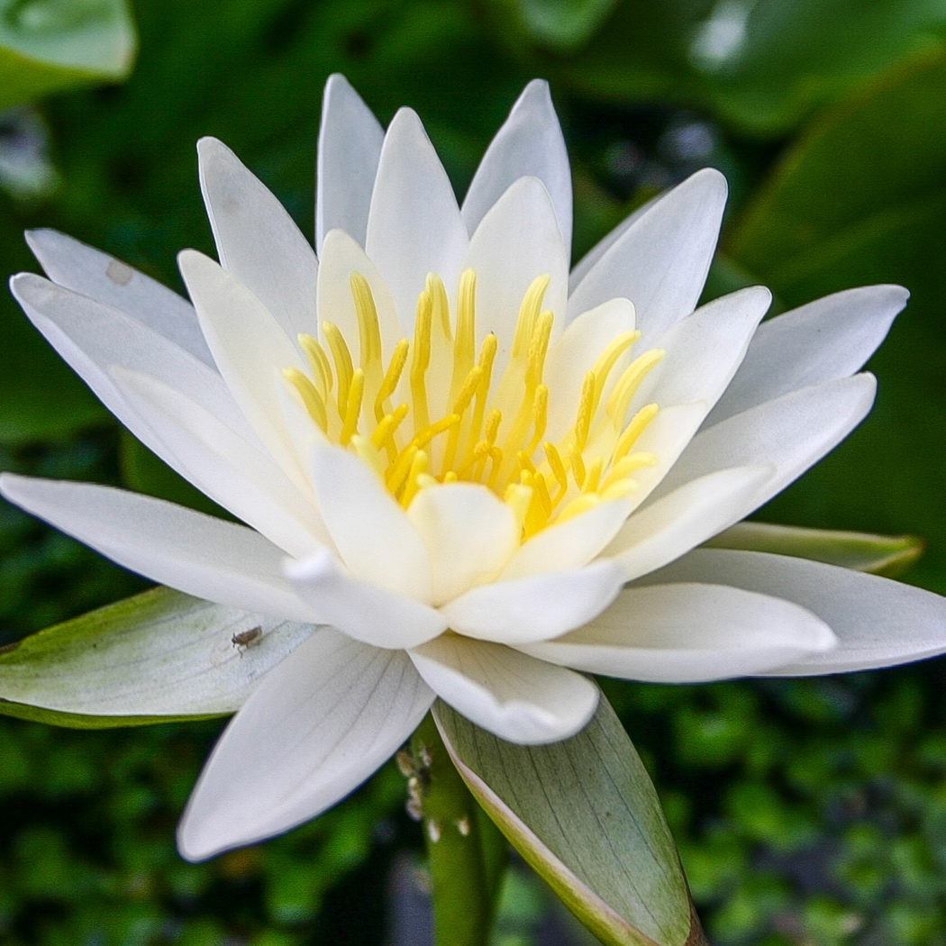 Nymphaea Walter Pagels - Hardy