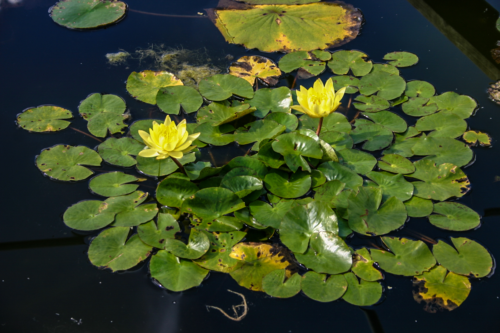 Nymphaea ''Mexicana' (1 of 1).jpg