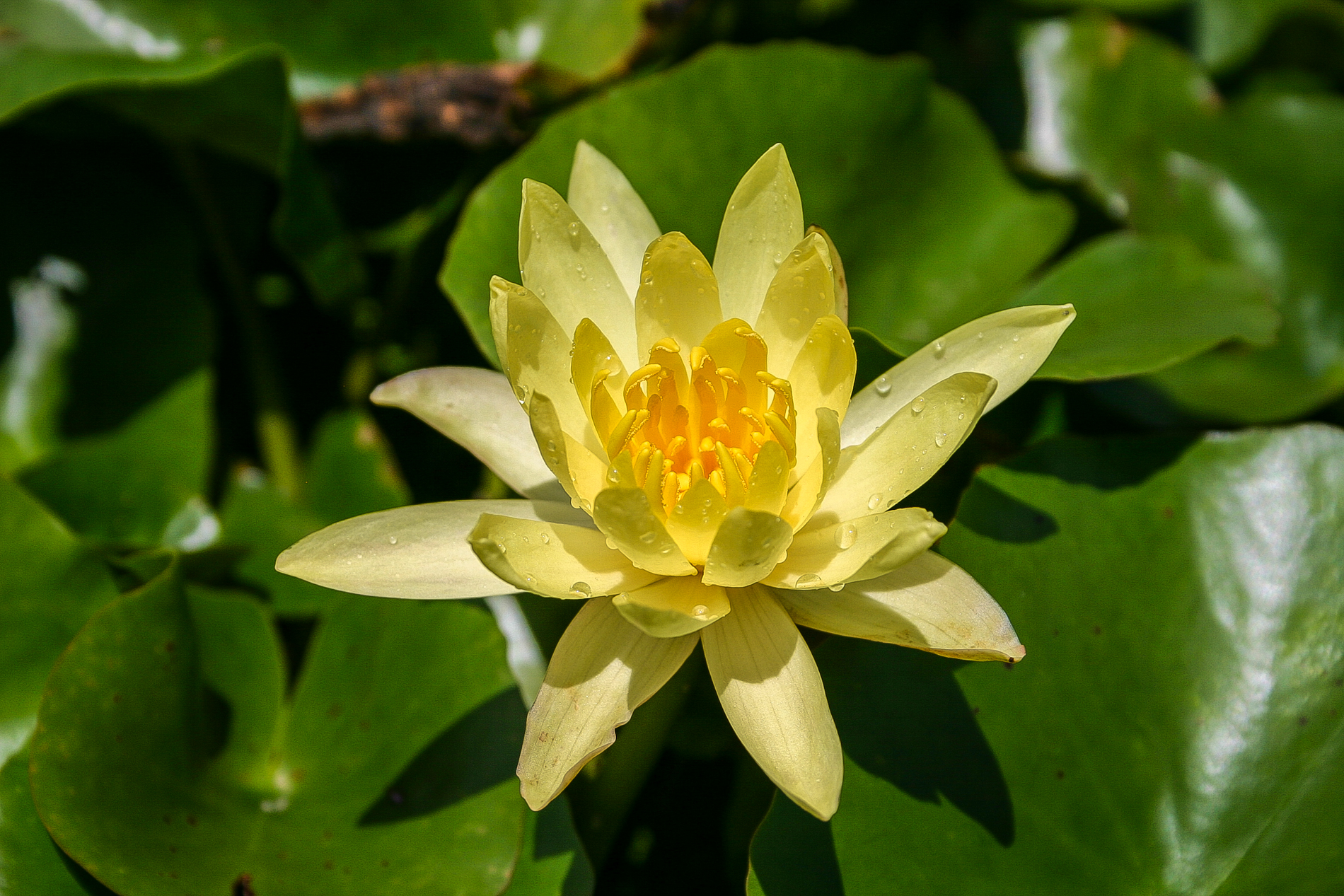 Nymphaea 'Pygmy Mexicana' 2 (1 of 1).jpg