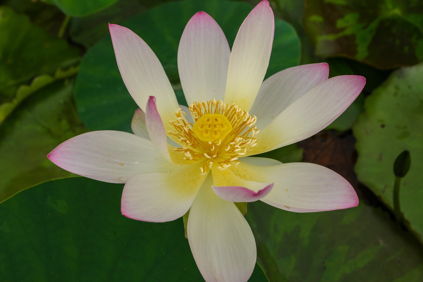 Nelumbo 'Mrs. Perry D. Slocum' 2 (1 of 1).jpg