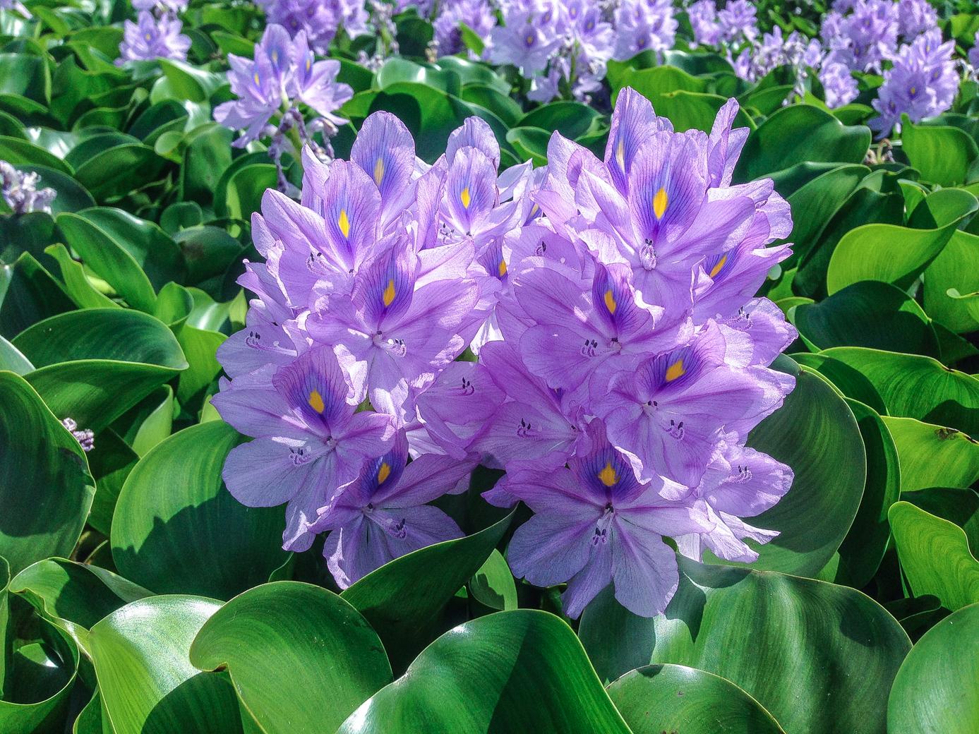 Eichhornia crassipes 3 (1 of 1).jpg