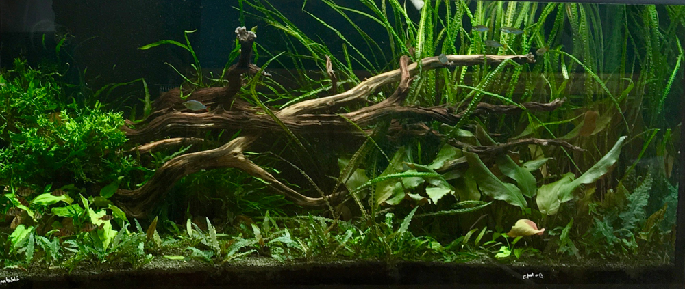 A healthy aquarium owned by Neil Frank (photo by Neil Frank) with a number of different  Cryptocoryne  species grown submersed.