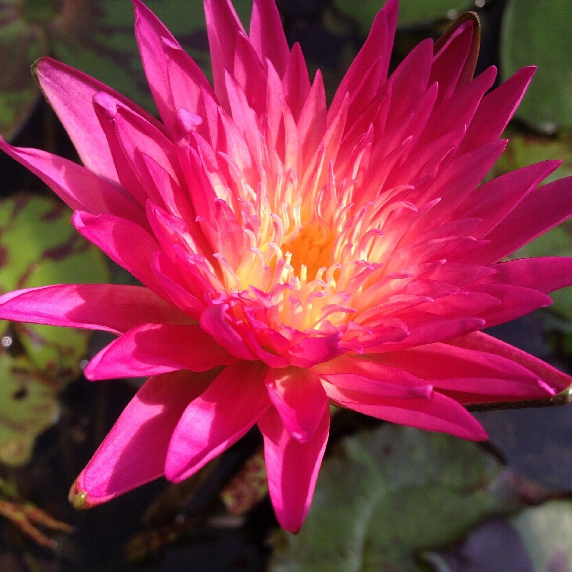 Nymphaea 'Pink Lemonade' - Tropical
