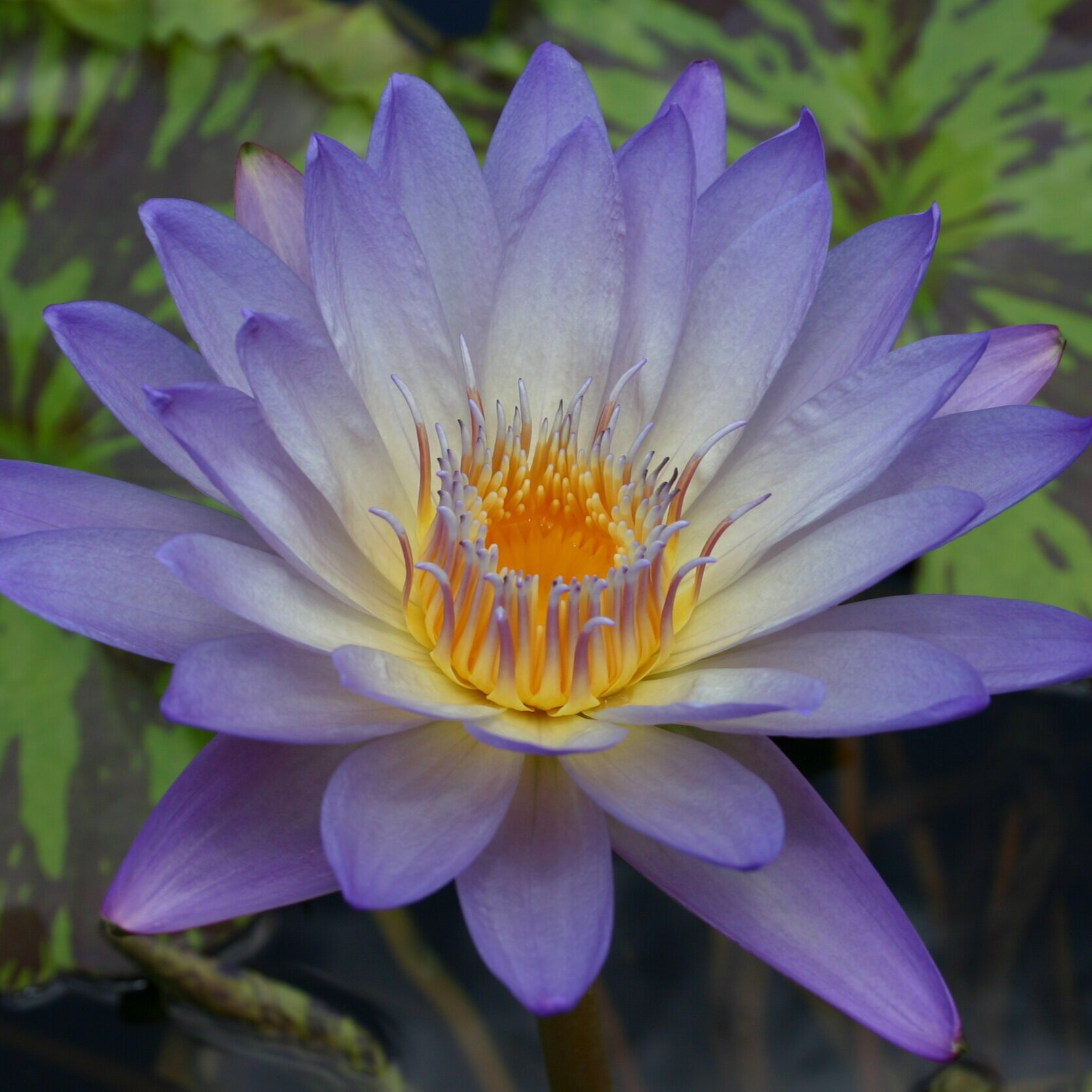 Nymphaea 'Southern Charm' - Tropical