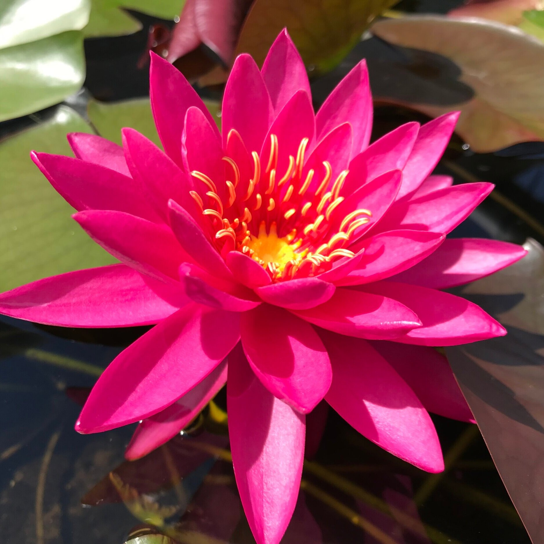 Nymphaea 'Miss Siam' - Hardy