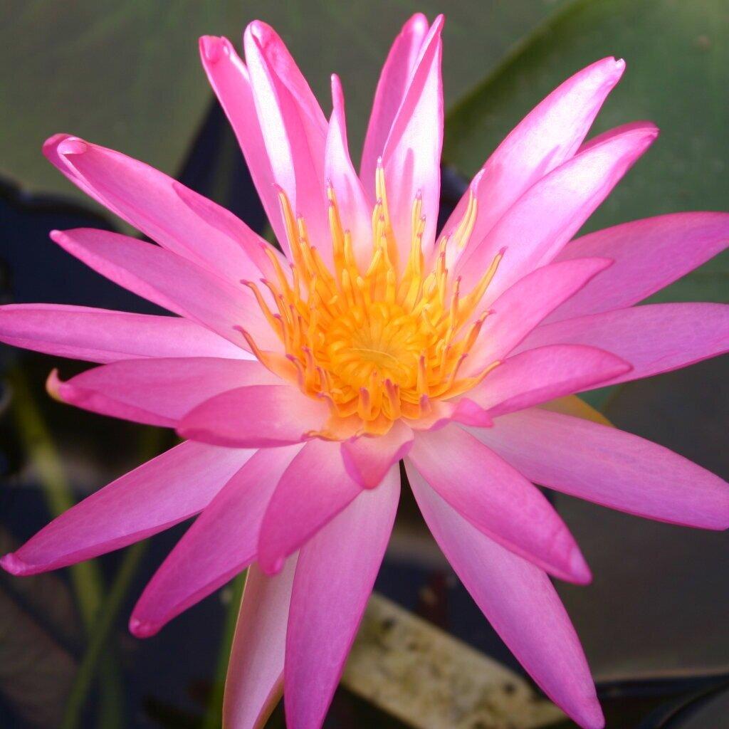 Nymphaea 'Tropic Star' - Hardy