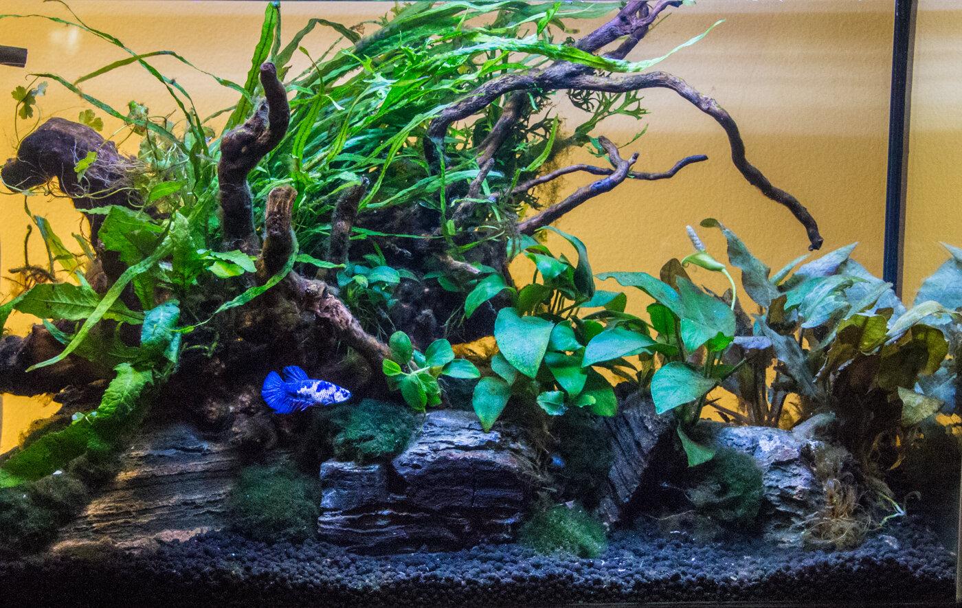 Easy Planted Betta Tank Florida Aquatic Nurseries
