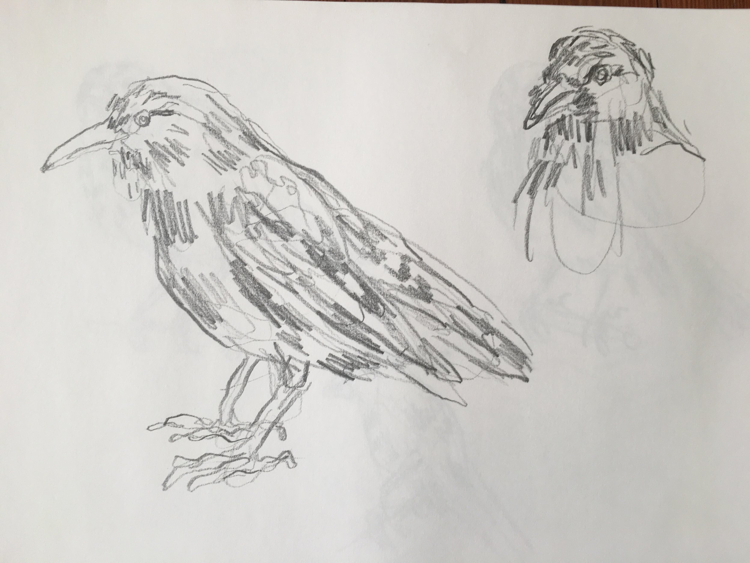 Sparrow studies / Yale Peabody Museum, New Haven CT