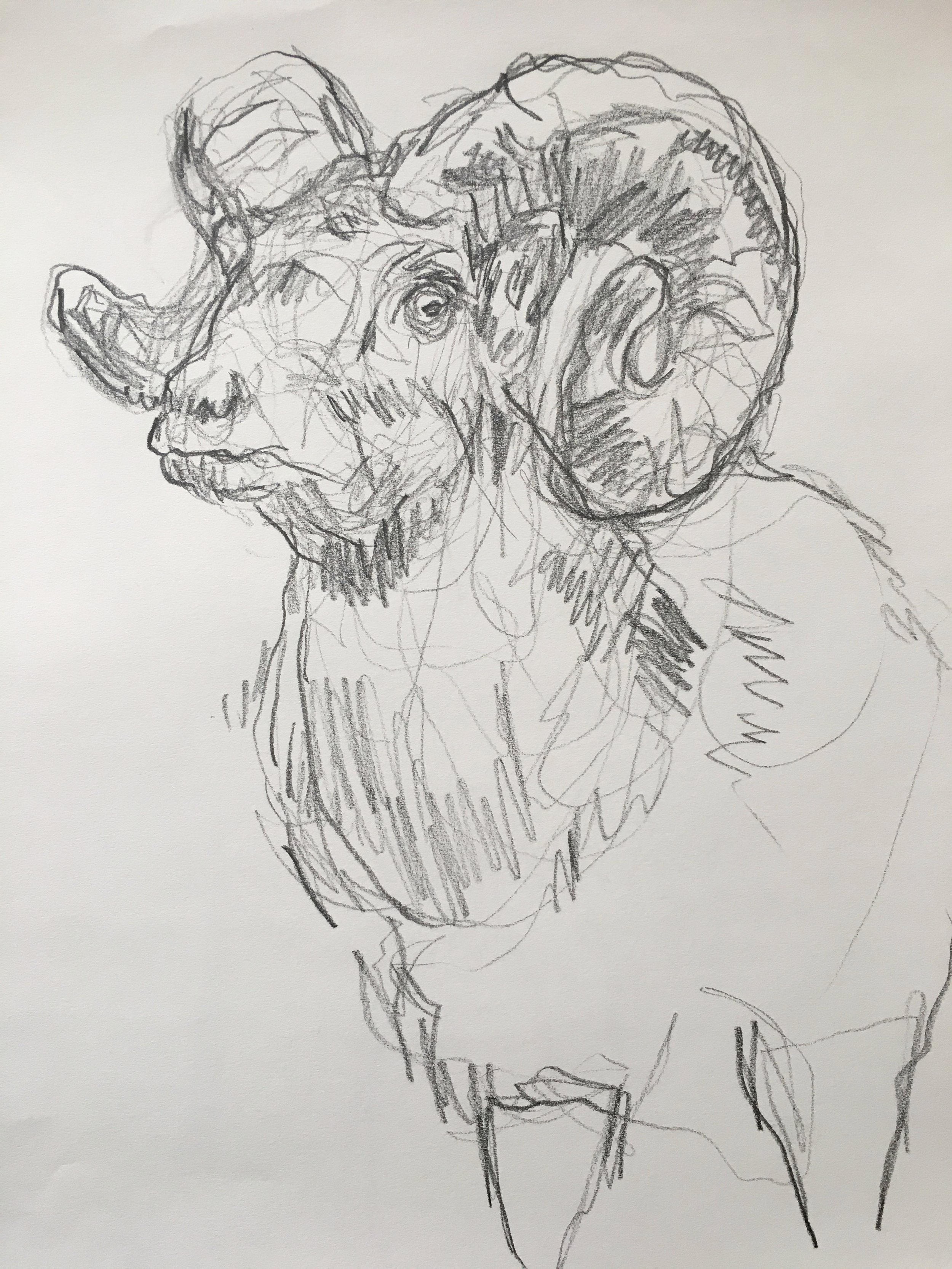 Ram / Yale Peabody Museum, New Haven CT