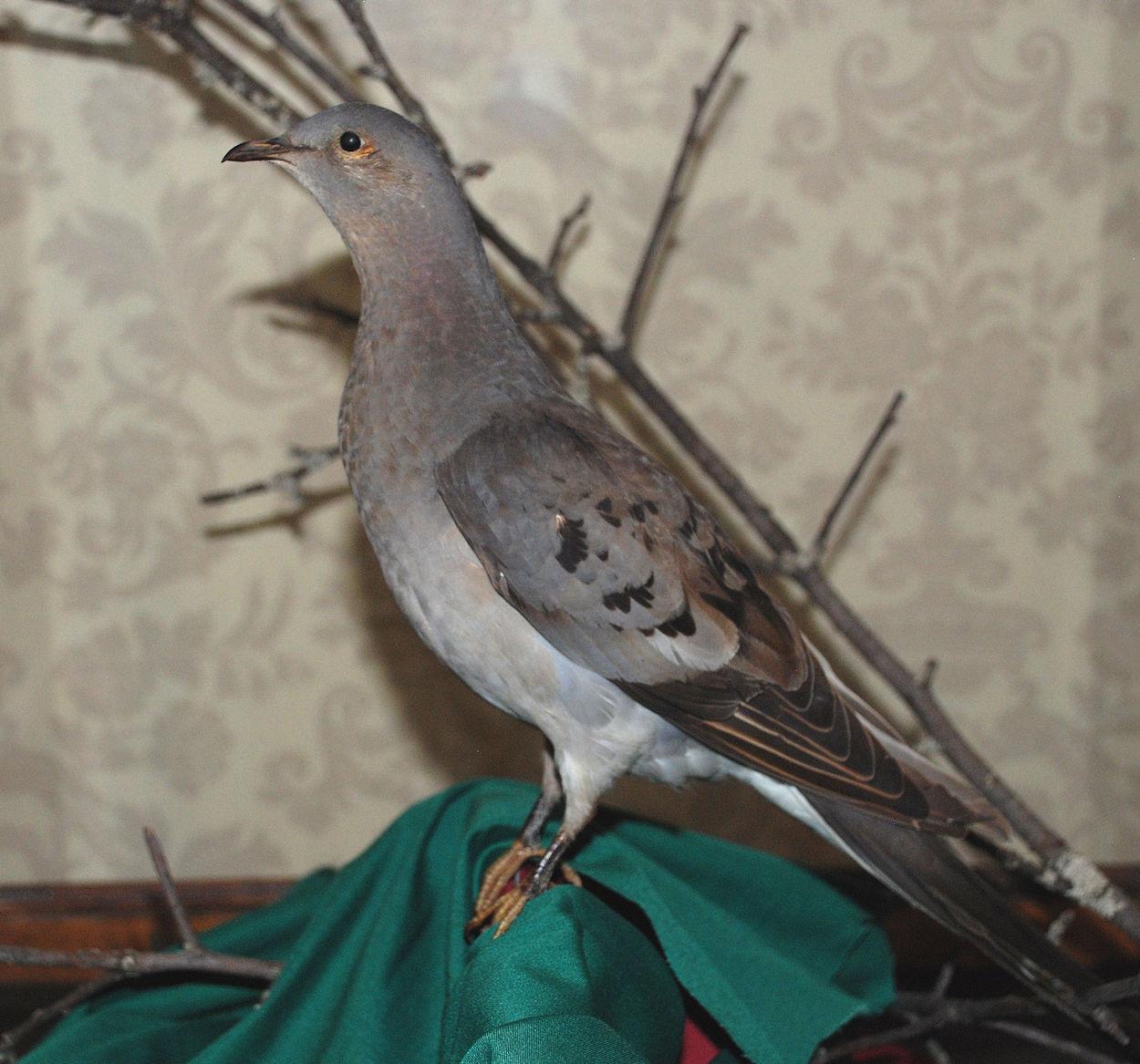 Passenger Pigeon.jpg