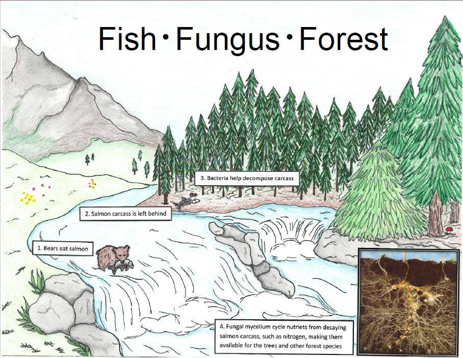 Click the image above to learn more about the fish-fungus-forest connection
