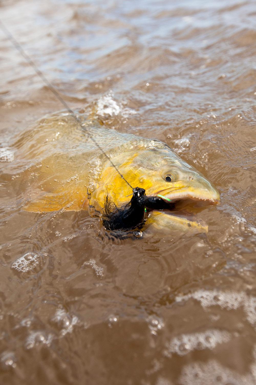 Golden-Dorado-water-argentina_mod.jpg