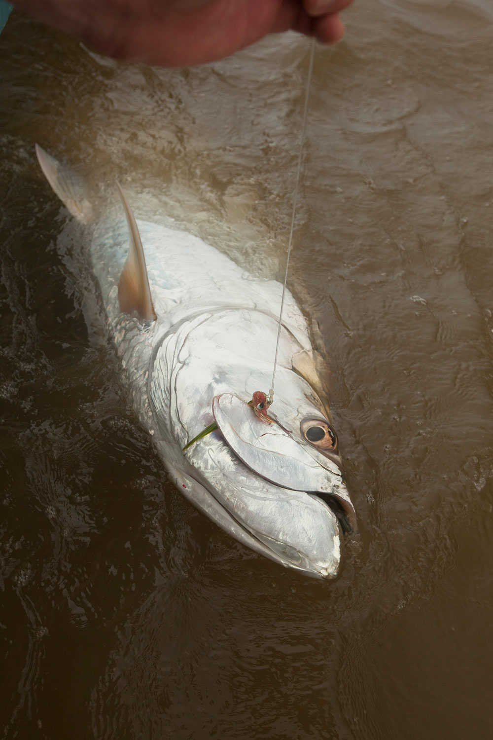 Tarpon_Head-costa.jpg