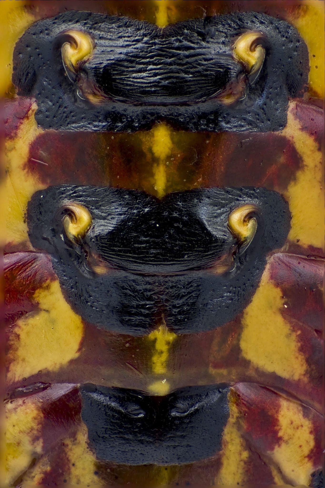 30x45membracidae copy.jpg