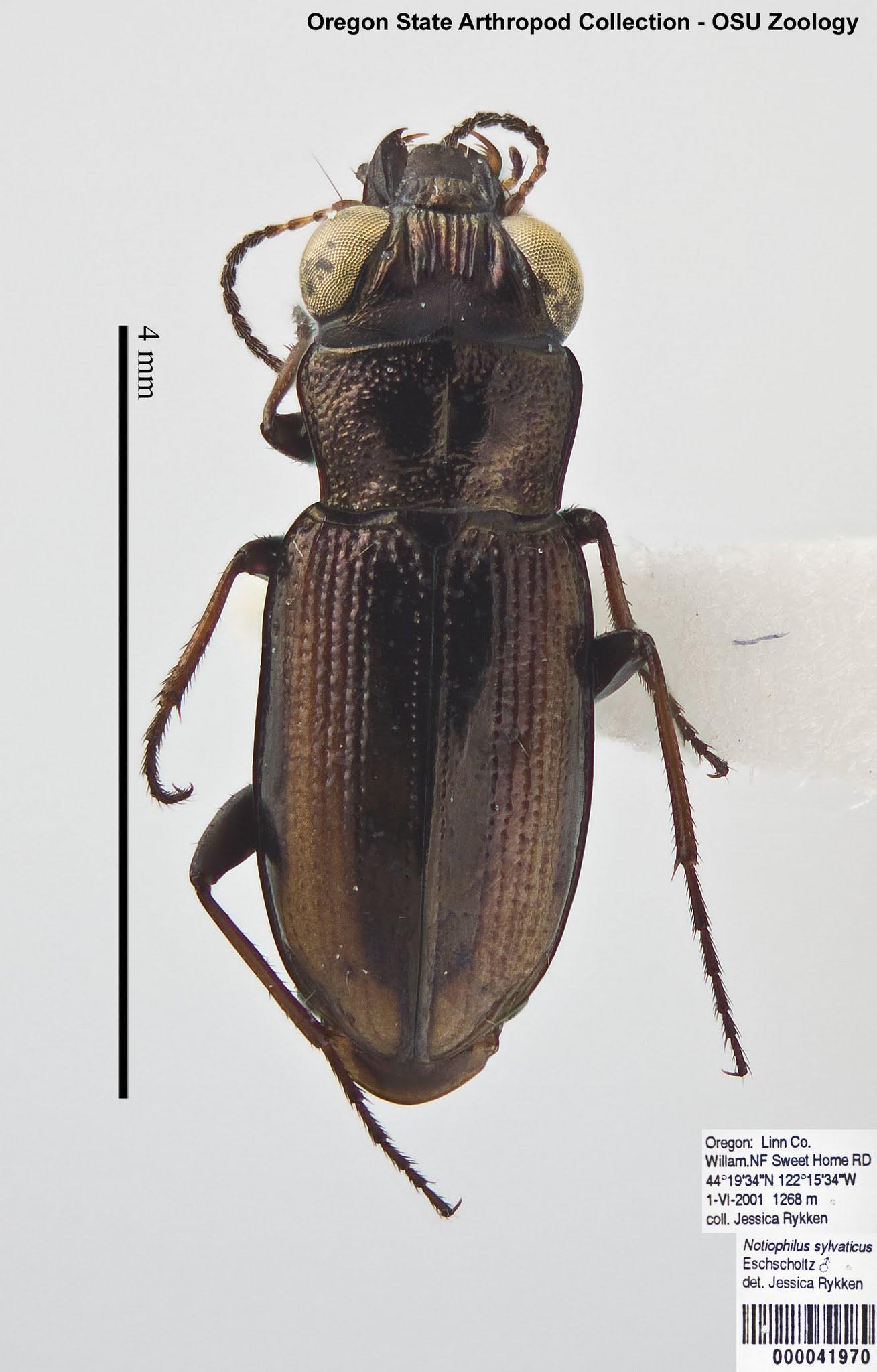 Notiophilus sylvaticus (dorsal)2 copy.jpg