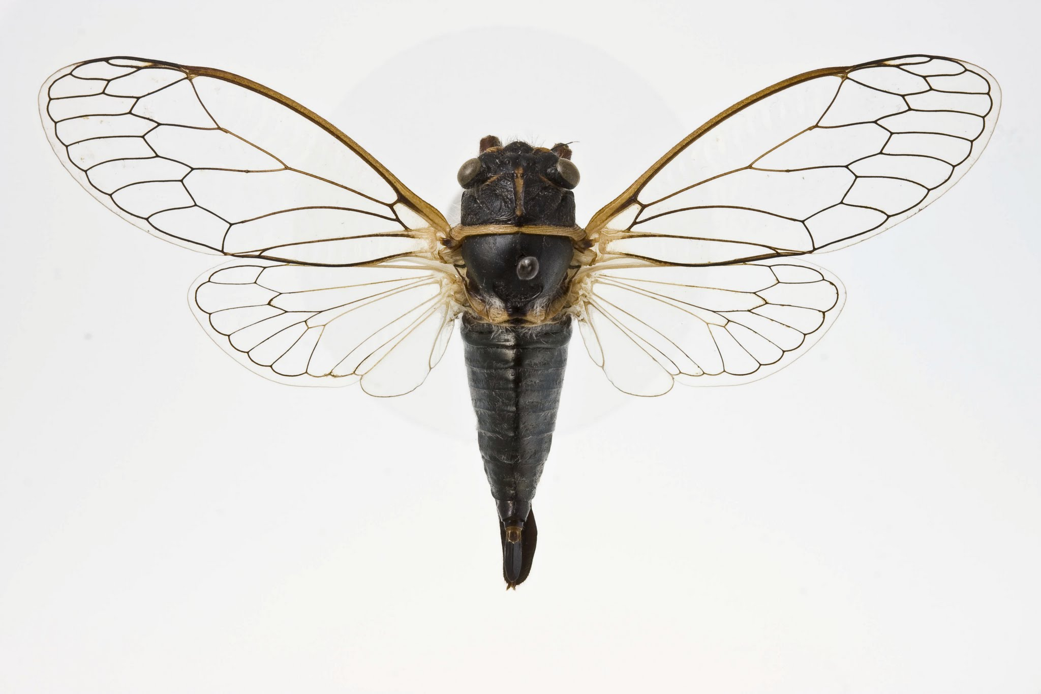 Platypedia areolata -1000 copy.jpg