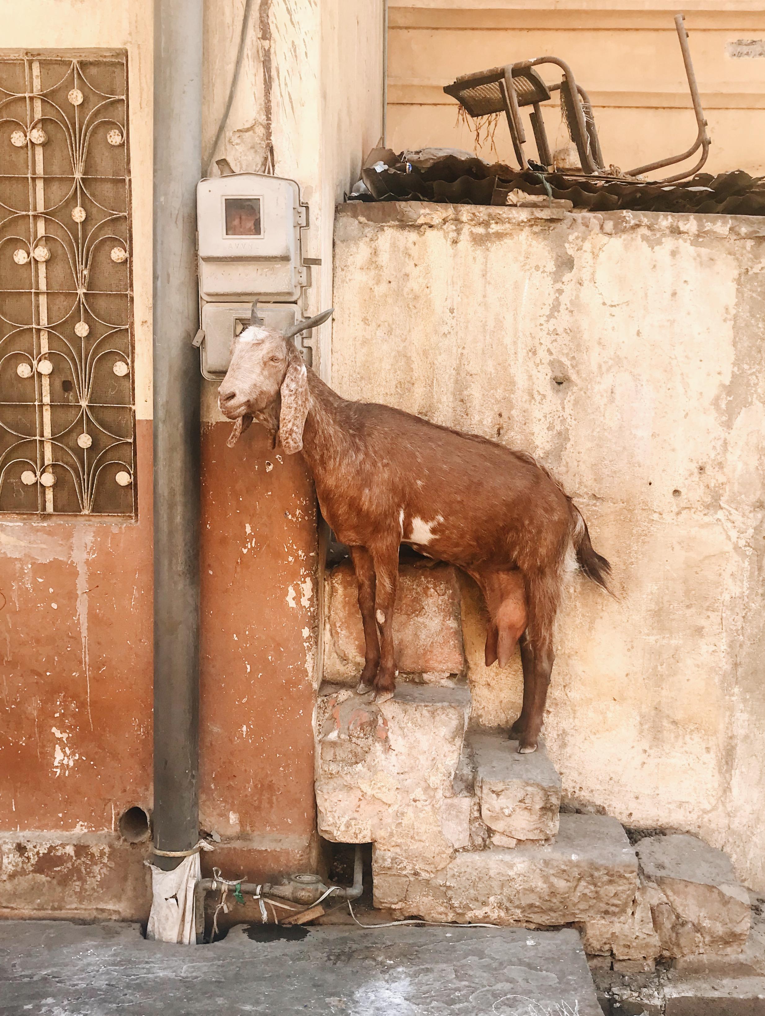 Goat Antics, Old City