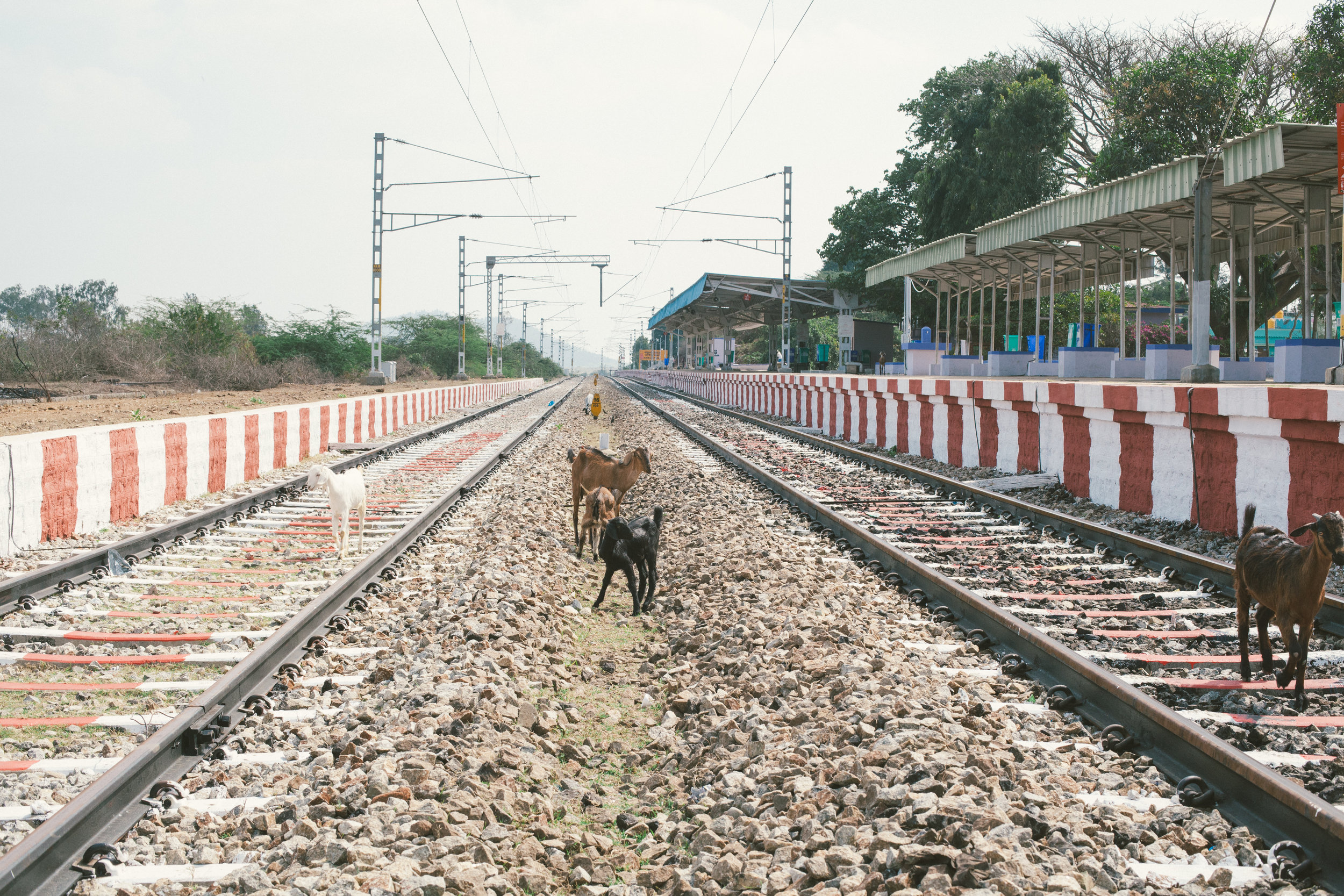 KGF station goats.jpg