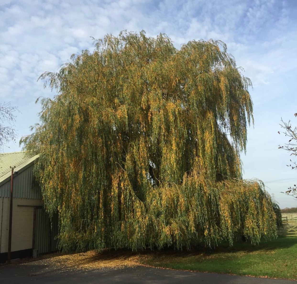 BorderTreeServices-Willow-Removal-1.jpeg