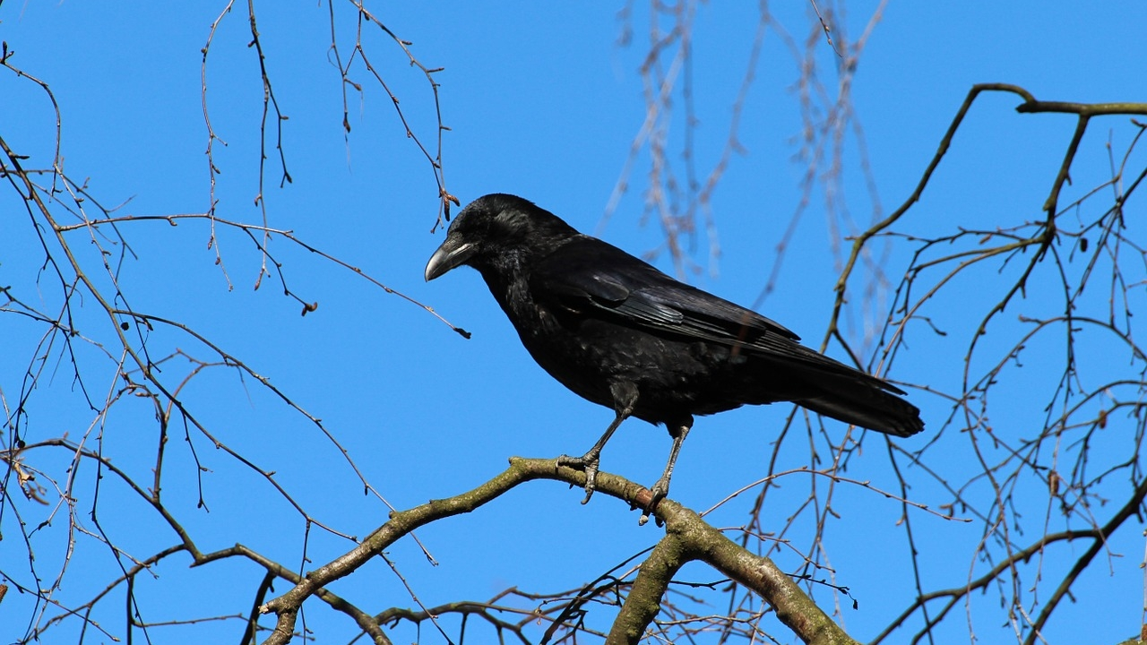 An Early Morning Stroll With Crows [CURRENTLY UNAVAILABLE] -