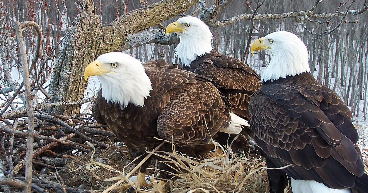 A Rare Bald Eagle Trio—Two Dads and a Mom—Captivates Webcam Fans   In a tall tree situated on the Mississippi River in Fulton, Illinois, three eagles, a female and two males, are looking after three downy eaglets—keeping them warm, feeding them freshly caught catfish, and herding them away from the edge of the nest. The three parents take turns hunting and nest-sitting, often calling to one another for assistance.   Read more.