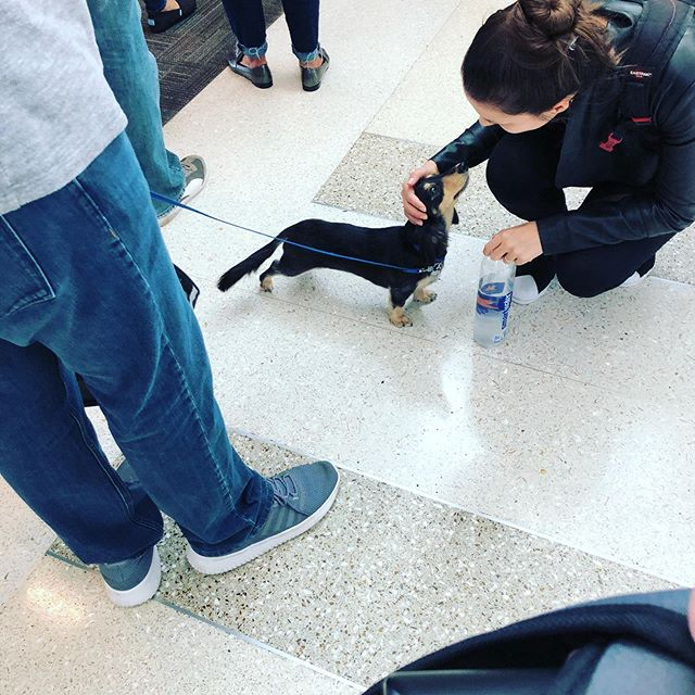 This little Dachshund is what everyone needed before takeoff today. #pettravel #flights #airport #florida