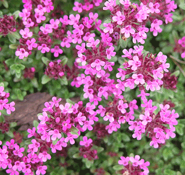 Red Thyme (Thymus Zygis) from Spain.