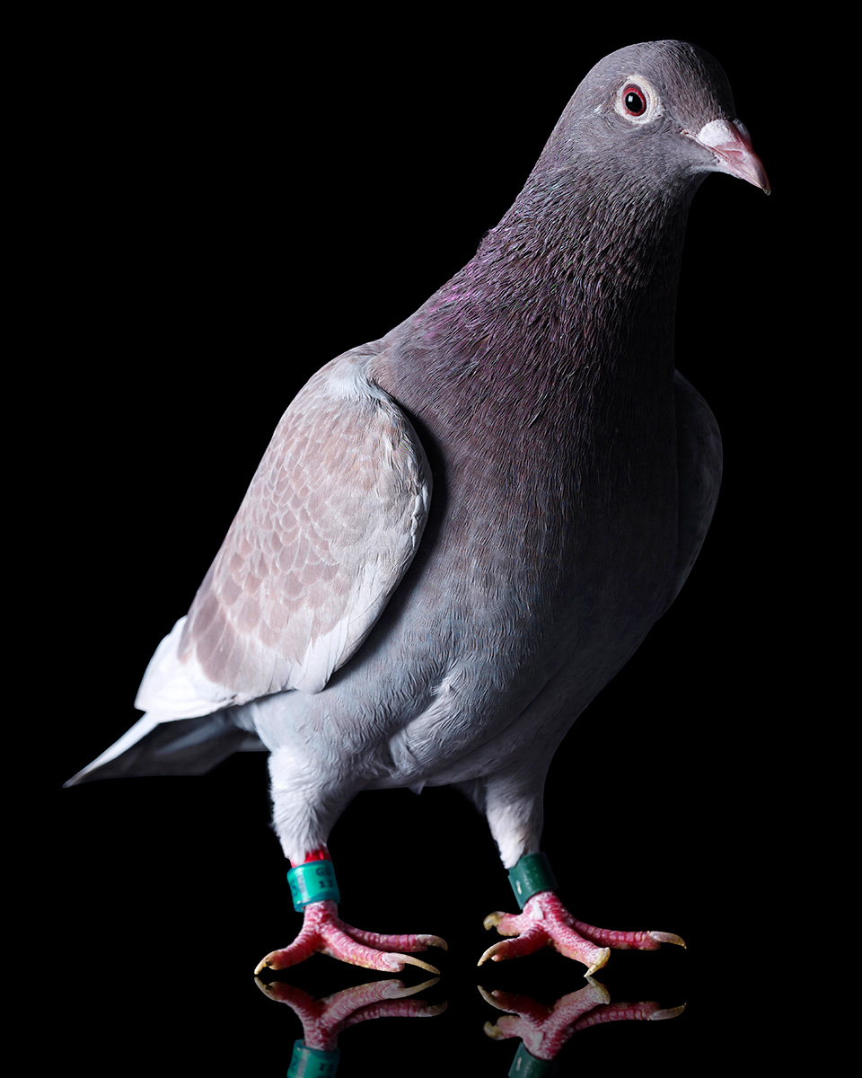 Pigeons Studio 160212.jpg