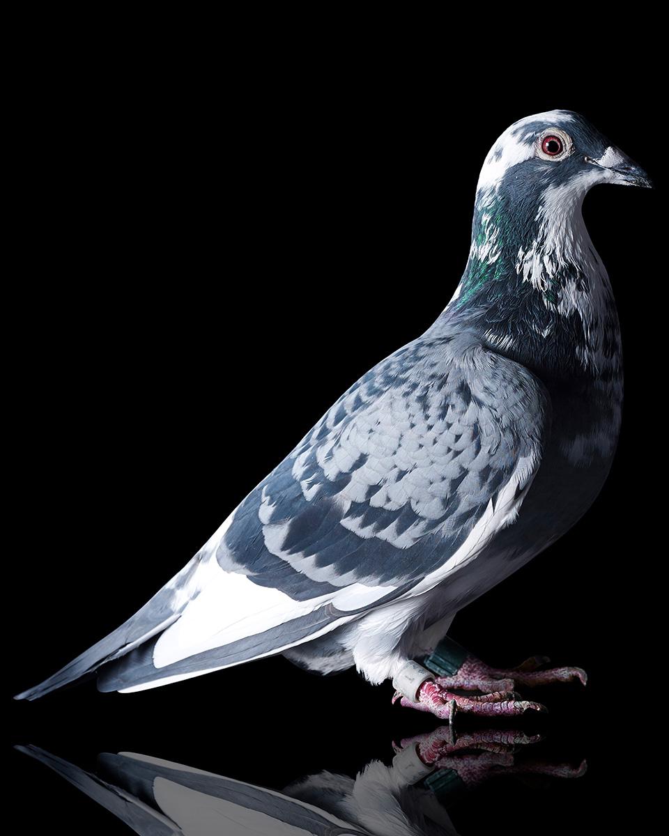 Pigeons Studio 161171.jpg