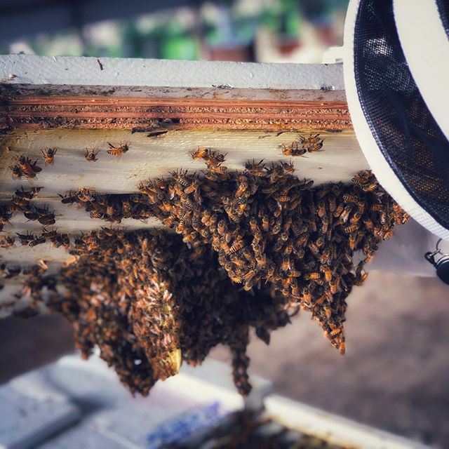 These beeuties are our #wcw 😍 . . . . . #bee🐝#Bee #bees #beekeepers #beekeepersofinstagram #beekeeperlife #beekeeperproblems #ca #california #lovewhatyoudo  #beetricks #beetip #beetips #beenuc  #apiary #beekeeping #beekeeper #honeybees #honeybee #hive #hives #pollinators #apiaries #beek #italianbees #buzz #savethebees #beefarm #italianbee