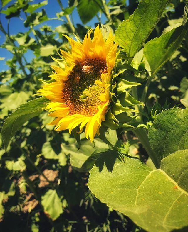 """""""The keeping of the bees is like directing sunbeams"""" - Beekeeper Tips . . . . . #sunflower #flowers #honeybee #sunshine #beekeeping #beekeeper #beekeeperproblems #bees #bees #honeybees #hive #beehive #beek #beekeepersofinstagram #italianbees #italianquee #lovebees #savethebees #saveourbees #beenuc #beesofinstagram #pollination #pollinator #Pollinating #ilovebees #beelife #apiary"""