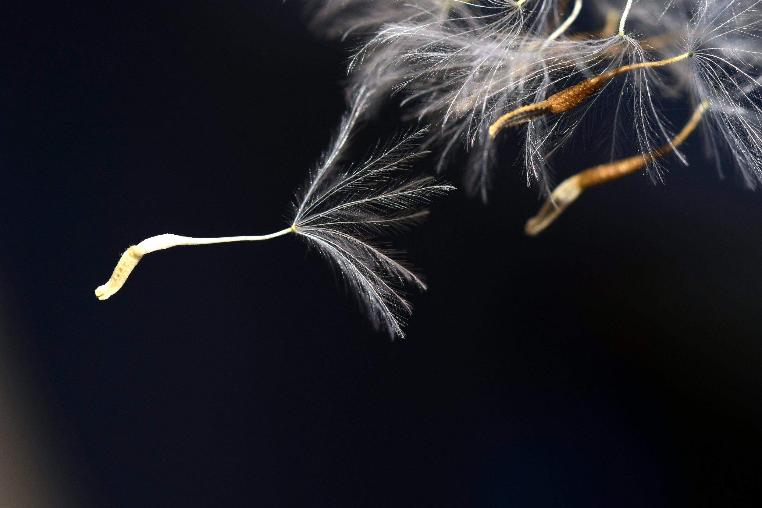 bloom blooiming blossom dandelion seed.jpg