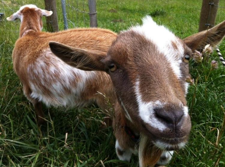 goats!.jpg