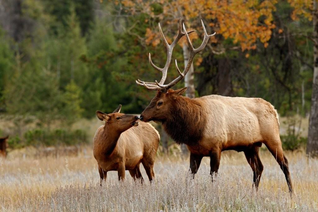 elk male female.jpg