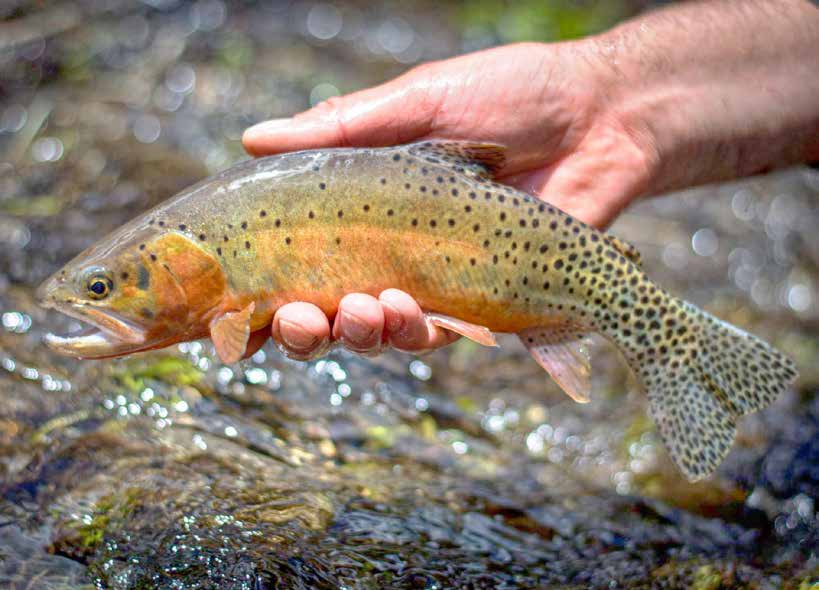 Rio Grande Cutthroat Trout are the state fish of New Mexico.