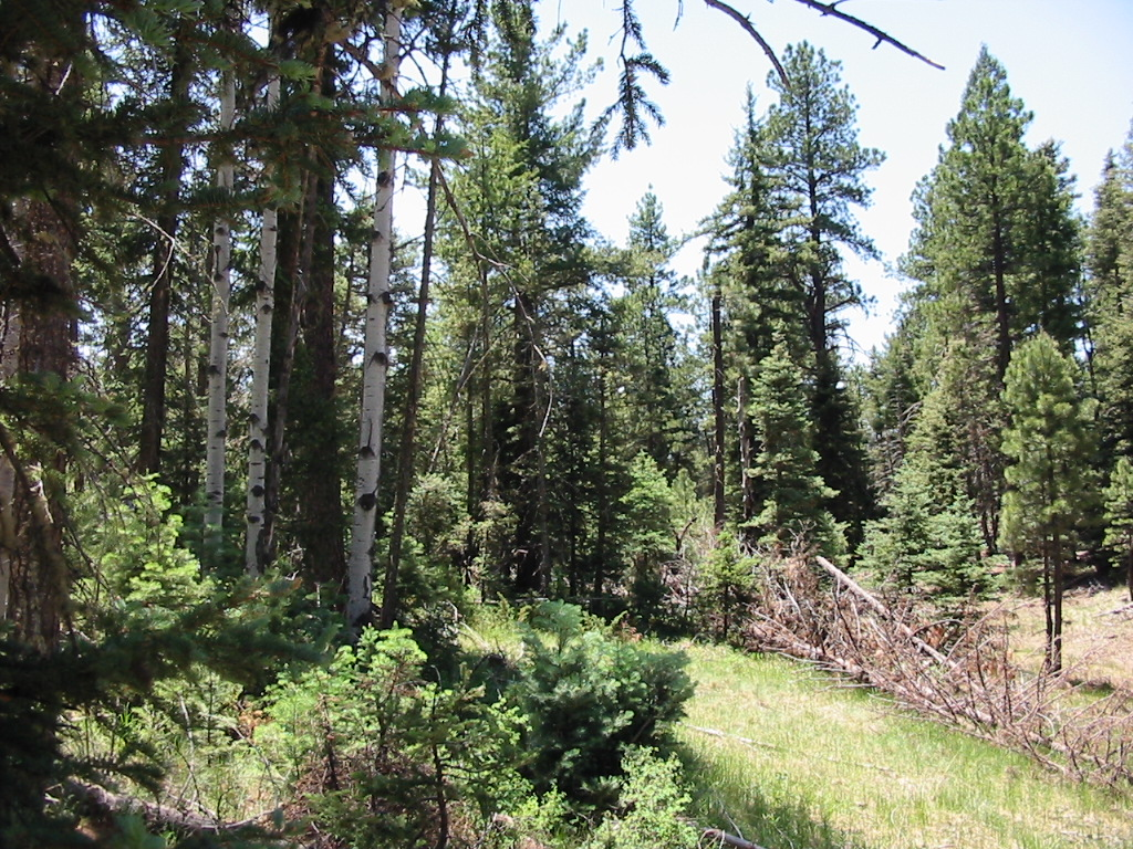 """Pre-treatment forest condition. Many small trees can act as """"ladder fuels"""" during a fire, increasing the chance fire will reach the tree canopy. A high number of trees per acre also means trees compete more strongly for light and water and less sunlight reaches the forest floor, reducing grass cover."""