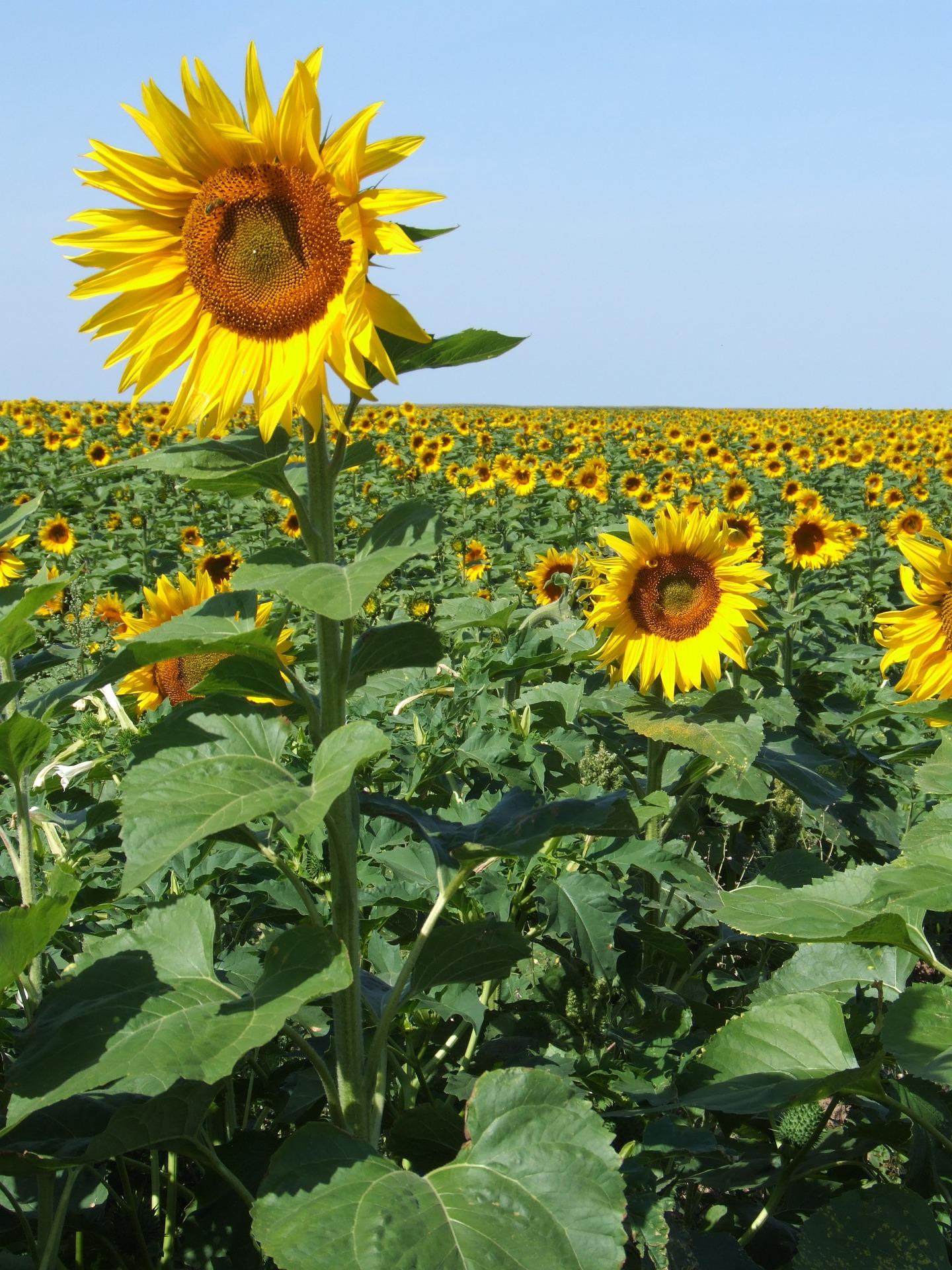 Sunflower Sticking Out.jpg