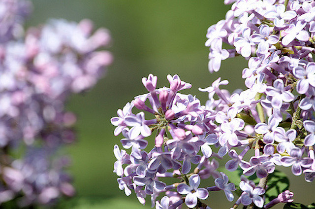""""""" Lilac """" by  Jamie Holly  is a Creative Commons image, licensed under  CC BY-SA 2.0"""