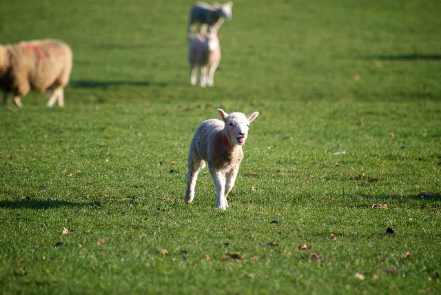 """Image: """" Skipping Lamb """" by  Andy Oakley  is used by  permission"""